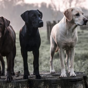 The three dogs of yoga